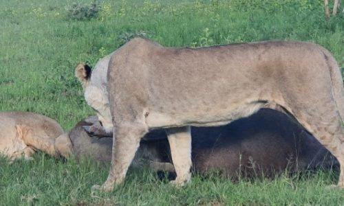 SafariPlains-News-Jan-11