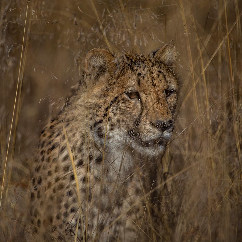 Safari-plains-cheetah